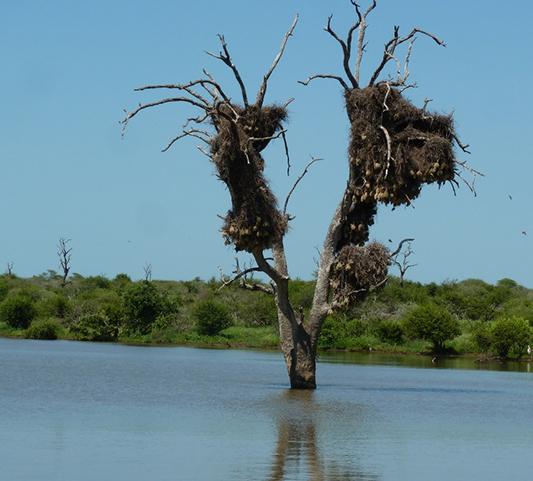 Nested On A Lake Tree - Elephant Herd Tours & Safaris